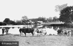 Cattle By Dunnings Mill 1907, East Grinstead