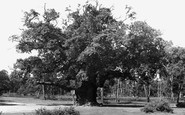 Edwinstowe, Major Oak, Sherwood Forest c1955