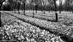 Daffodils c.1955, Evesham