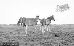 Exmoor, Exmoor Foals And Ponies c.1955
