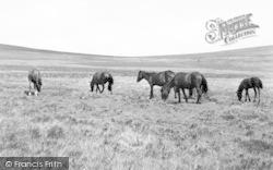 Exmoor, Exmoor Ponies c.1955