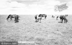 Exmoor, Exmoor Ponies c.1960