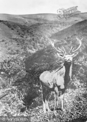 Stag On Dunkery Beacon 1921, Exmoor