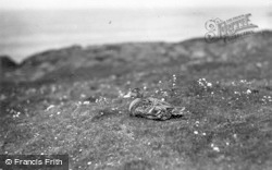 Farne Islands, Eider Duck c.1935