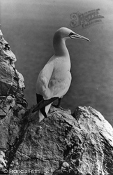 Farne Islands, Gannet c.1960