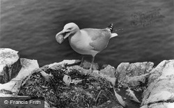 Farne Islands, Herring Gull Stealing Gannet's Eggs c.1960