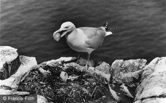 Farne Islands, Herring Gull Stealing Gannet's Eggs c1960