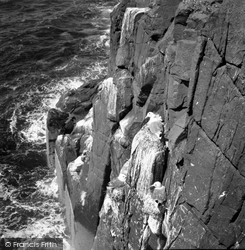 Farne Islands, Kittiwakes 1959