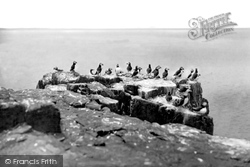Farne Islands, Puffins c.1935