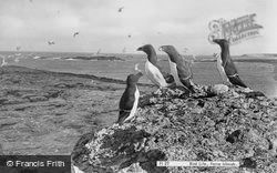 Farne Islands, Razorbills 1964
