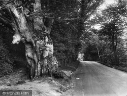 Forest Row, Old Beech Tree Showing Boars Head 1927