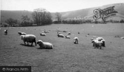 Fulking, South Down Sheep c.1955