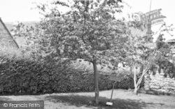 Glastonbury, Thorn c.1955
