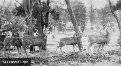 Deer In The National Park c.1930, Grand Canyon