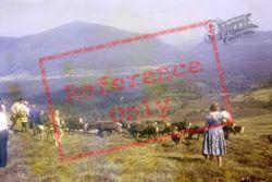 Grantown On Spey, Reindeer In The Cairngorms 1975, Grantown-on-Spey