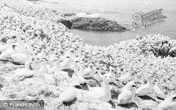 Grassholm, Gannets c.1955, Grassholm Island