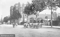 Sheep In Shepherds Bush Road 1905, Hammersmith