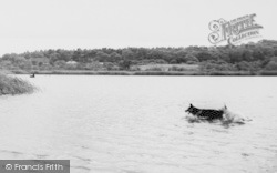 Hatchmere, Lake, Dogs Swimming c.1960