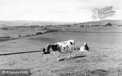 Hellifield, Cows On The Haw c.1950