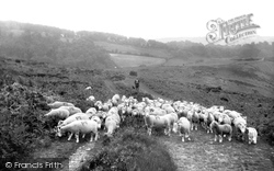 Sheep Crossing The Quantocks 1929, Holford