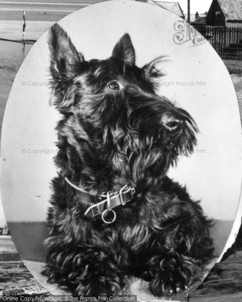 Photo of Holy Island, Scottish Terrier c.1955
