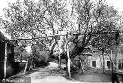 The Walnut Tree 1901, Horsmonden