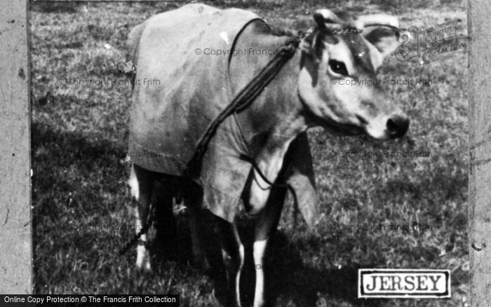 Photo of Jersey, Jersey Cow c.1950