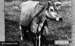 Jersey, Jersey Cow c.1950