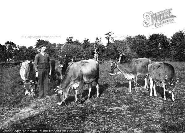 Photo of Jersey, Jersey Cows c.1880