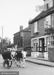 Kingsland, Cows In The Village c.1955