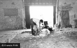 Kingston Near Lewes, Sheep Shearing At Kingston Farm c.1960