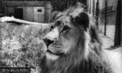 Kirby Misperton, The African Lion, Flamingo Park Zoo c.1960