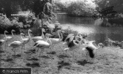 Kirby Misperton, The Flamingoes, Flamingo Park Zoo c.1960