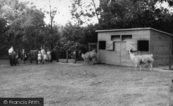 Kirby Misperton, The Llamas, Flamingo Park Zoo c.1960