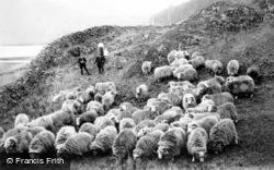 A Flock Of Sheep c.1900, Lake District