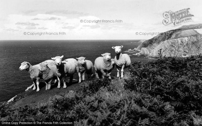 Photo of Lee, Hill Sheep On Coast Walk c.1960