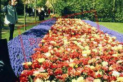 Keukenhof Gardens, Tulips 1999, Lisse