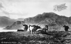 Loch Long, Highland Cattle 1901