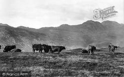Highland Cattle 1901, Loch Long