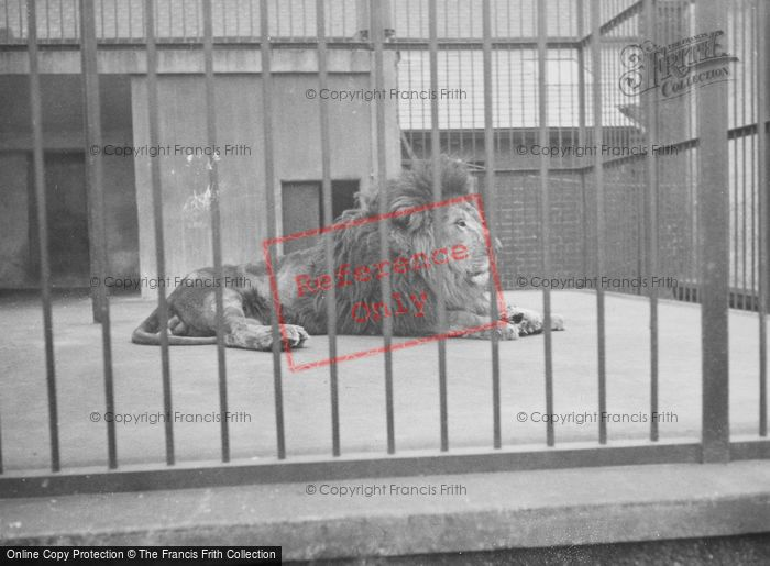 Photo of London Zoological Gardens, A Lion c.1935