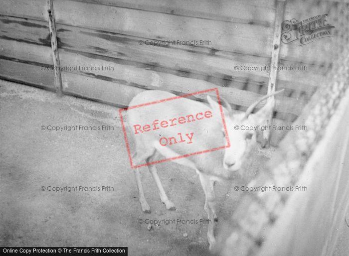 Photo of London Zoological Gardens, Antelope c.1935
