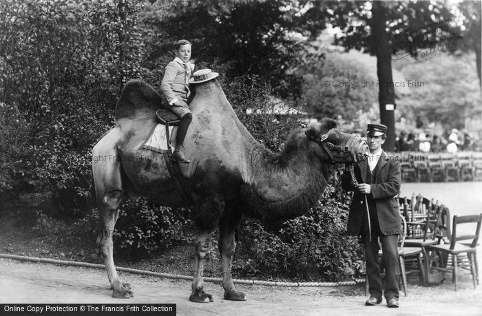 Photo of London Zoological Gardens, Bactrian Camel 1913