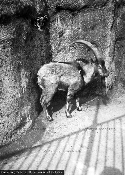 Photo of London Zoological Gardens, Bighorn Sheep c.1935