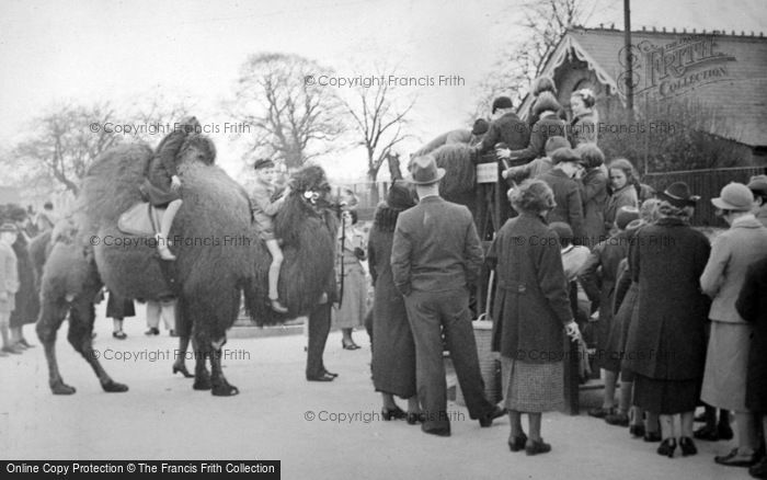 Photo of London Zoological Gardens, Camel Rides c.1935