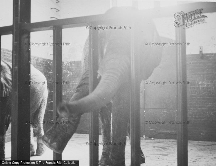 Photo of London Zoological Gardens, Elephants c.1935