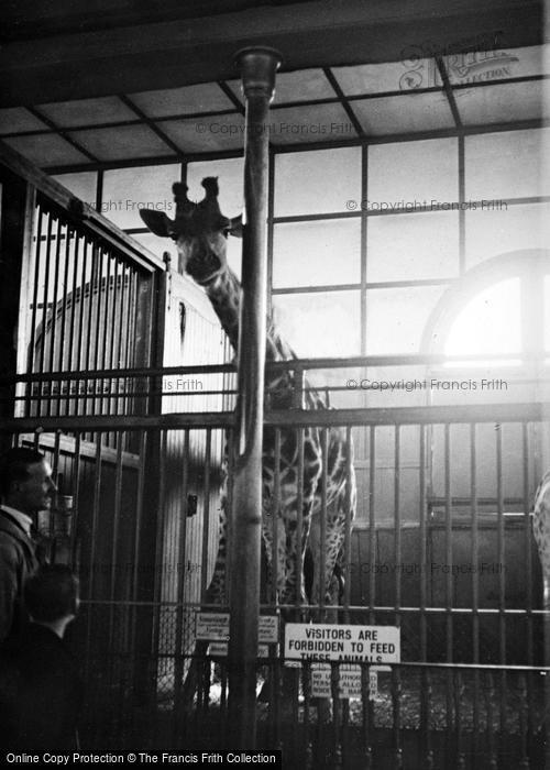Photo of London Zoological Gardens, Giraffe c.1935