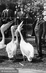 London Zoological Gardens, Hungry Pelicans 1913