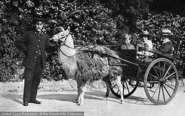 Photo of London Zoological Gardens, Llama Cart c.1910