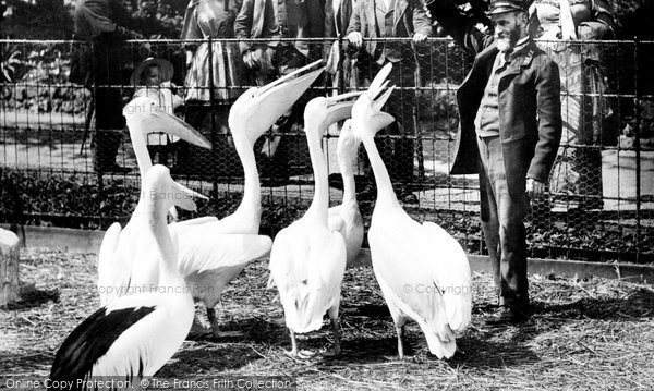 Photo of London Zoological Gardens, Pelicans 1913