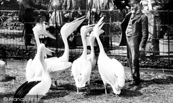 London Zoological Gardens, Pelicans 1913
